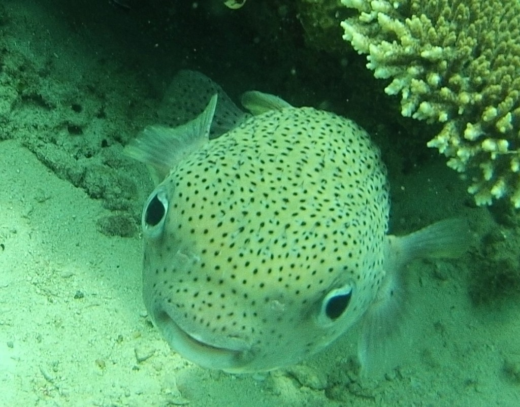 a porcupine fish saying hello