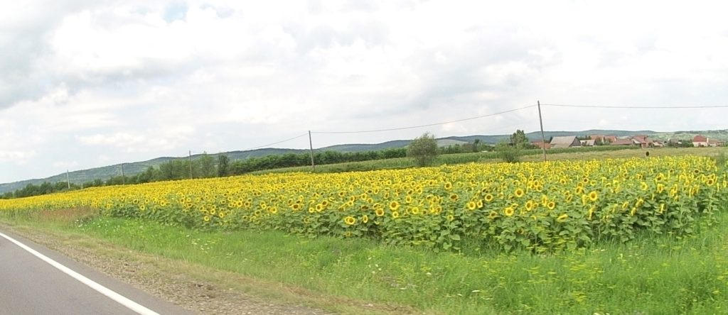 One of hundreds of sunflower fields